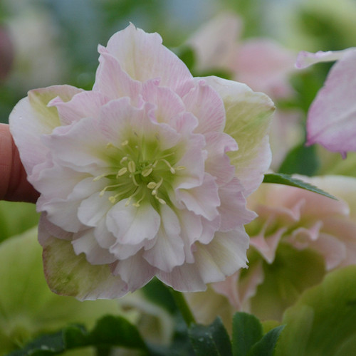 Wedding Party® Flower Girl Lenten Rose Flower is blooms