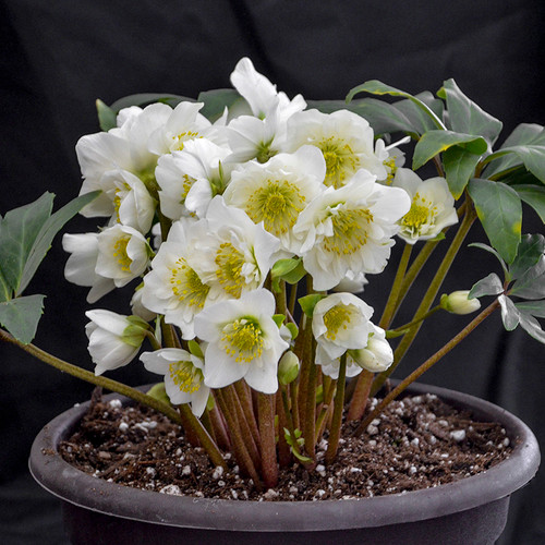 Snowbells Christmas Rose in a flower pot