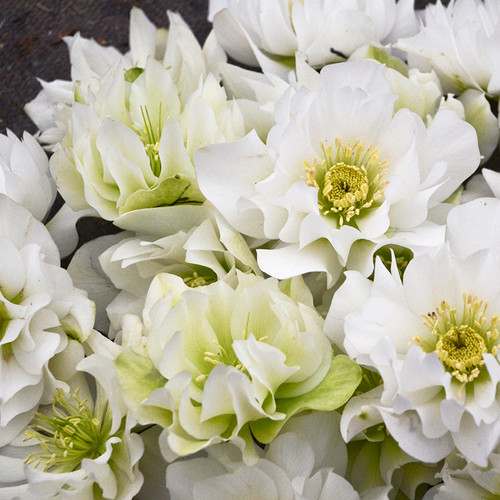 Wedding Party® Wedding Bells Lenten Rose Flowers Close Up