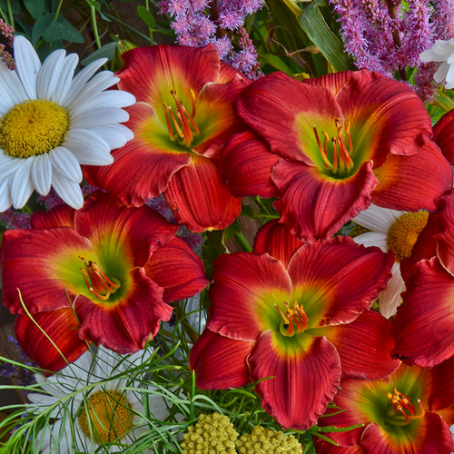 Happy Ever Appster Red Hot Daylily