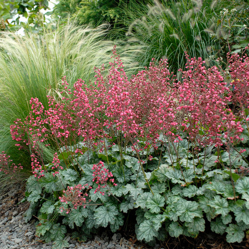 Paris Coral Bells foliage and flowers