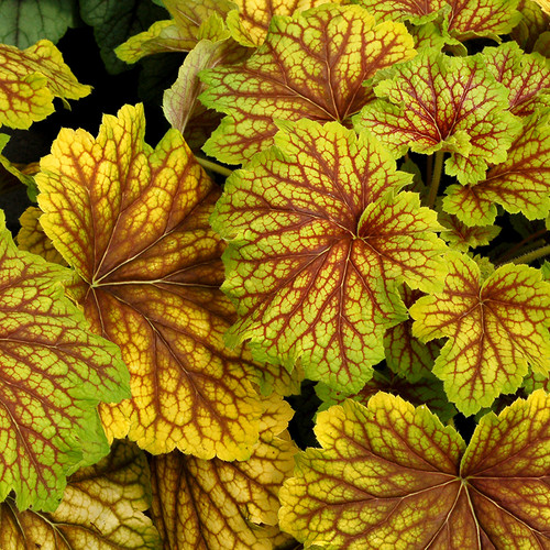 Red Lightning Coral Bells Leaves