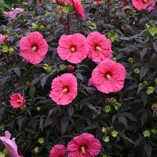 Summerific® Evening Rose Hibiscus Flowers and Foliage