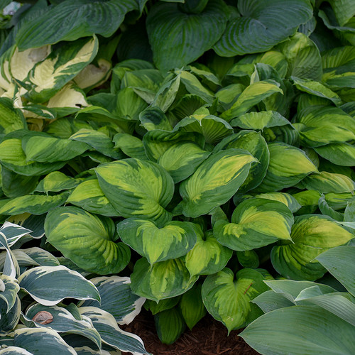 Captain Kirk Hosta foliage and green leaves