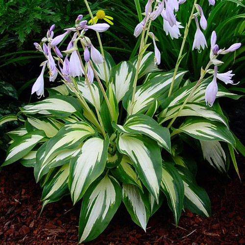 Christmas Candy Hosta Flowers and foliage