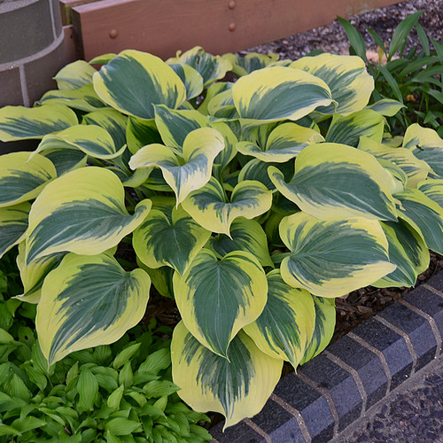 Liberty Hosta plant in the shade garden