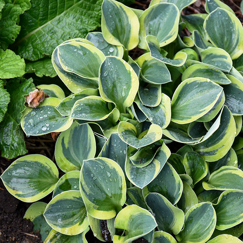 Small Mighty Mouse Hosta Plant