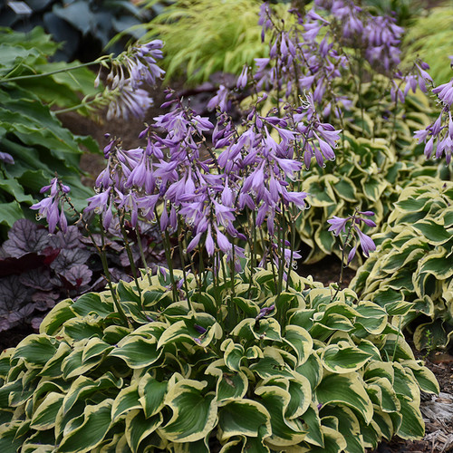 Wrinkle in Time Hosta plants blooming