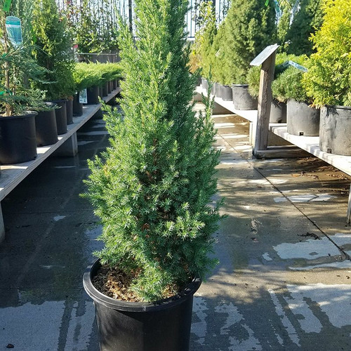Blue Point Juniper Cropped