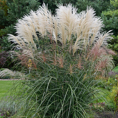Encore Ornamental Grass with seed heads