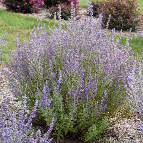 Sage Advice Russian Sage Plant Flowering