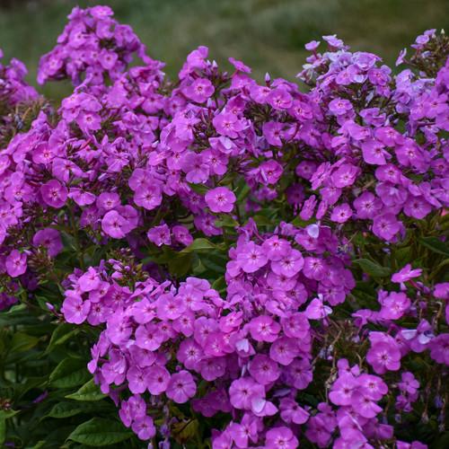 Garden Girls Cover Girl Phlox Plants Blooming