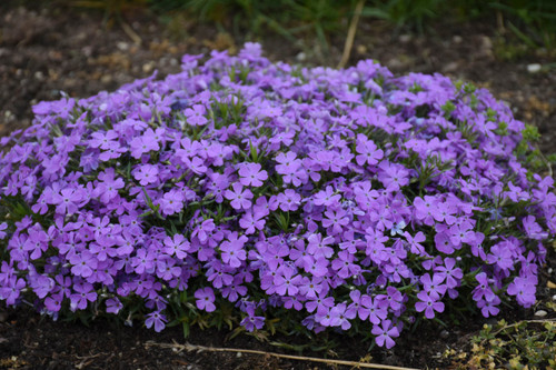 Mountainside Crater Lake Phlox Flowers Close Up