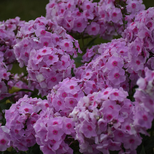 Luminary Opalescence Phlox Flower Clusters