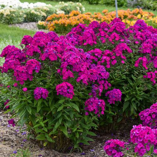 Luminary Ultraviolet Phlox Plants Flowering in the Garden