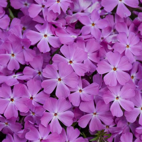 Spring Bling Rose Quartz Phlox Flower Petals