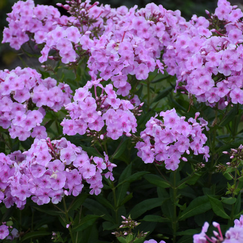 Garden Girls Uptown Girl Phlox Plants Flowering