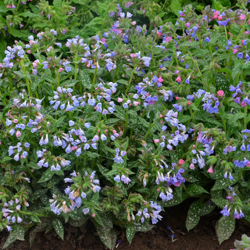 Twinkle Toes Lungwort Plant Blooming