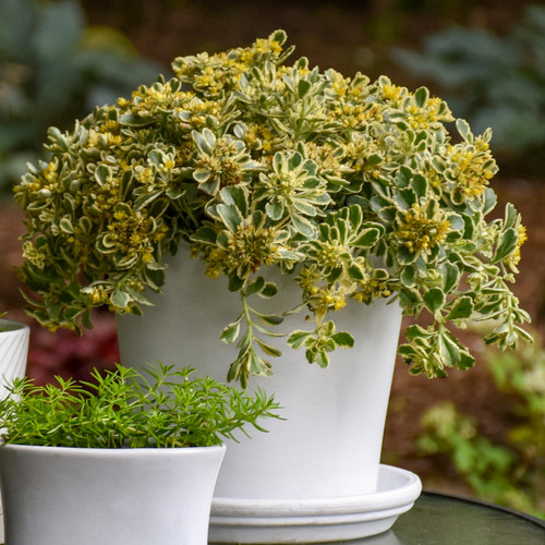Rock 'N Low Boogie Woogie Stonecrop Sedum in Patio Tabletop Planter