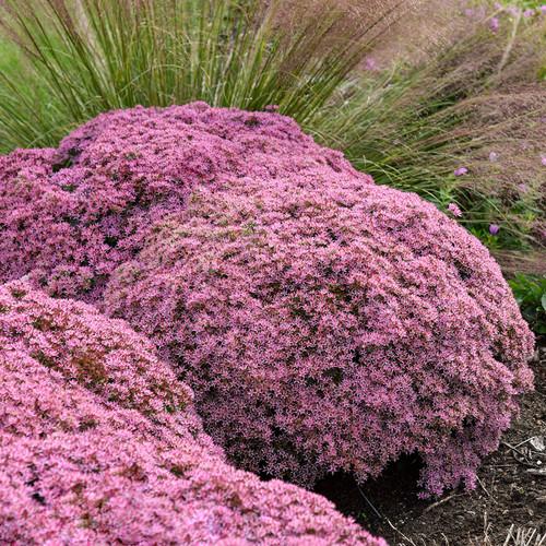 Large Rock 'N Round Pride and Joy Stonecrop Sedum Plants Blooming