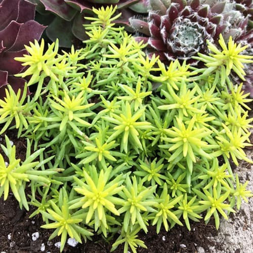 Sunsparkler® Angelinas Teacup Stonecrop Sedum Plant