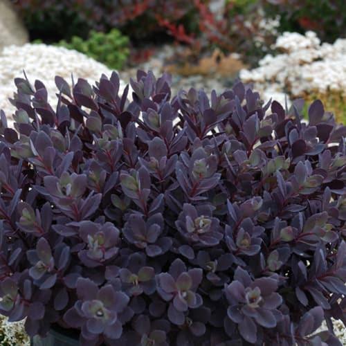 Sunsparkler® Plum Dazzled Stonecrop Sedum Plant in Rock Garden
