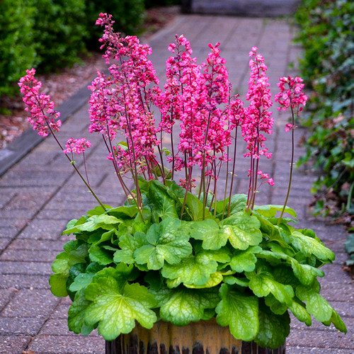 Timeless Glow Coral Bells in a flower pot