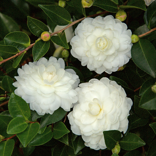 October Magic White Shi Shi Camellia Flowers and Foliage