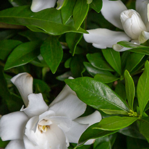 Fool Proof Gardenia Shrub Blooms and Foliage