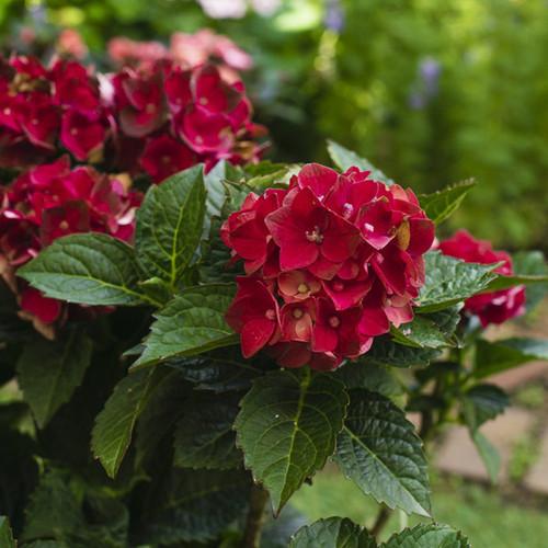 Heart Throb Hydrangea Shrub Blooms and Foliage