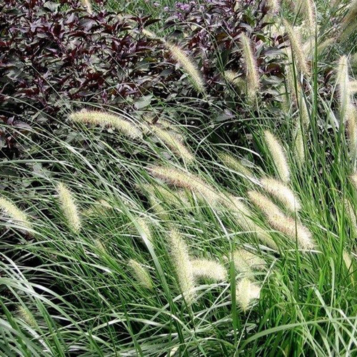 Dwarf Fountain Grass Cropped