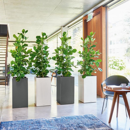 Canto Premium Tall Square Planters Indoors With Fiddle Leaf Fig Plants