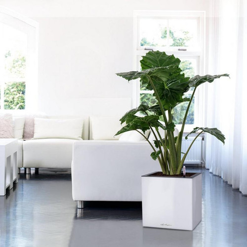 Indoor Canto Premium Short Square Planter With Elephant Ears