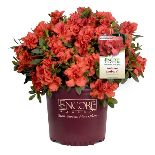 Autumn Embers Encore Azalea in a Branded Pot