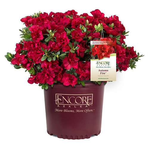 Autumn Fire Encore Azalea in Branded Pot