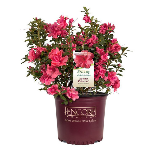 Autumn Princess Encore Azalea in Branded Pot