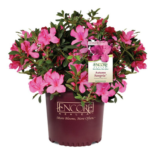 Autumn Sangria Encore Azalea Cropped