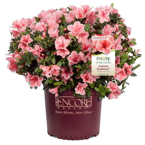 Autumn Sunburst Encore Azalea Cropped