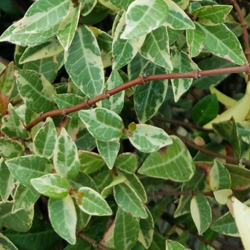 Variegated Asiatic Jasmine Leaves