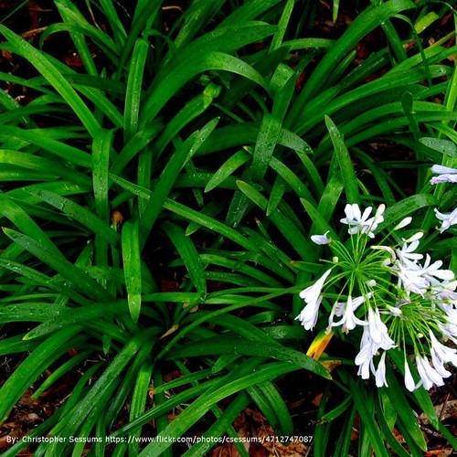 Mondo Grass Cropped