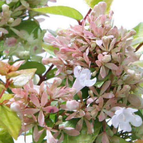 Canyon Creek Abelia Flowers