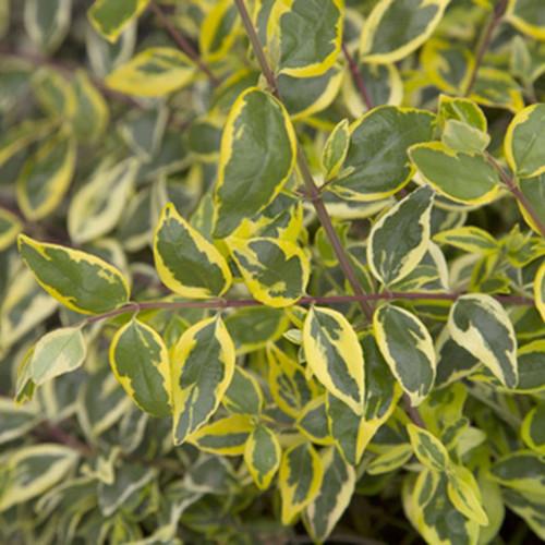 Miss Lemon Abelia Cropped
