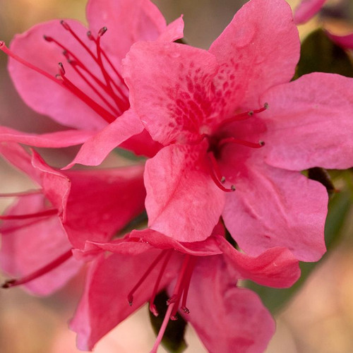 Autumn Cheer Encore Azalea Cropped