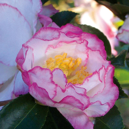 October Magic Inspiration Camellia Flower