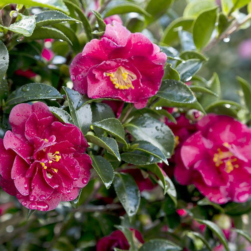 October Magic Ruby Camellia Cropped