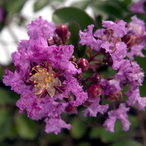 Early Bird Purple Crape Myrtle Cropped