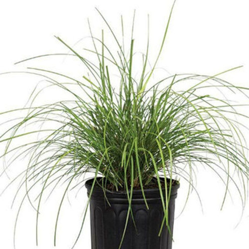 Adagio Maiden Grass in Container Cropped