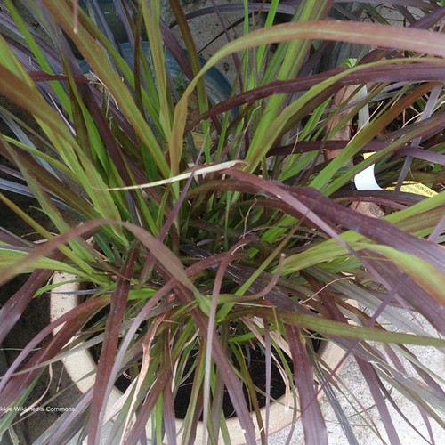Purple Fountain Grass Blades
