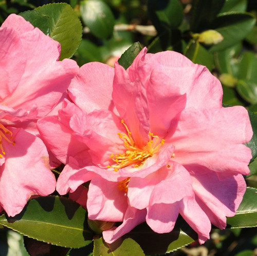 Jessica's Ruffles Camellia Cropped