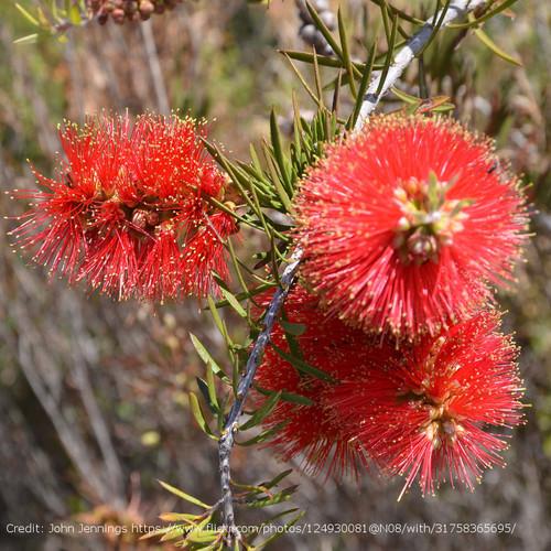 Scarlet Bottlebrush Cropped